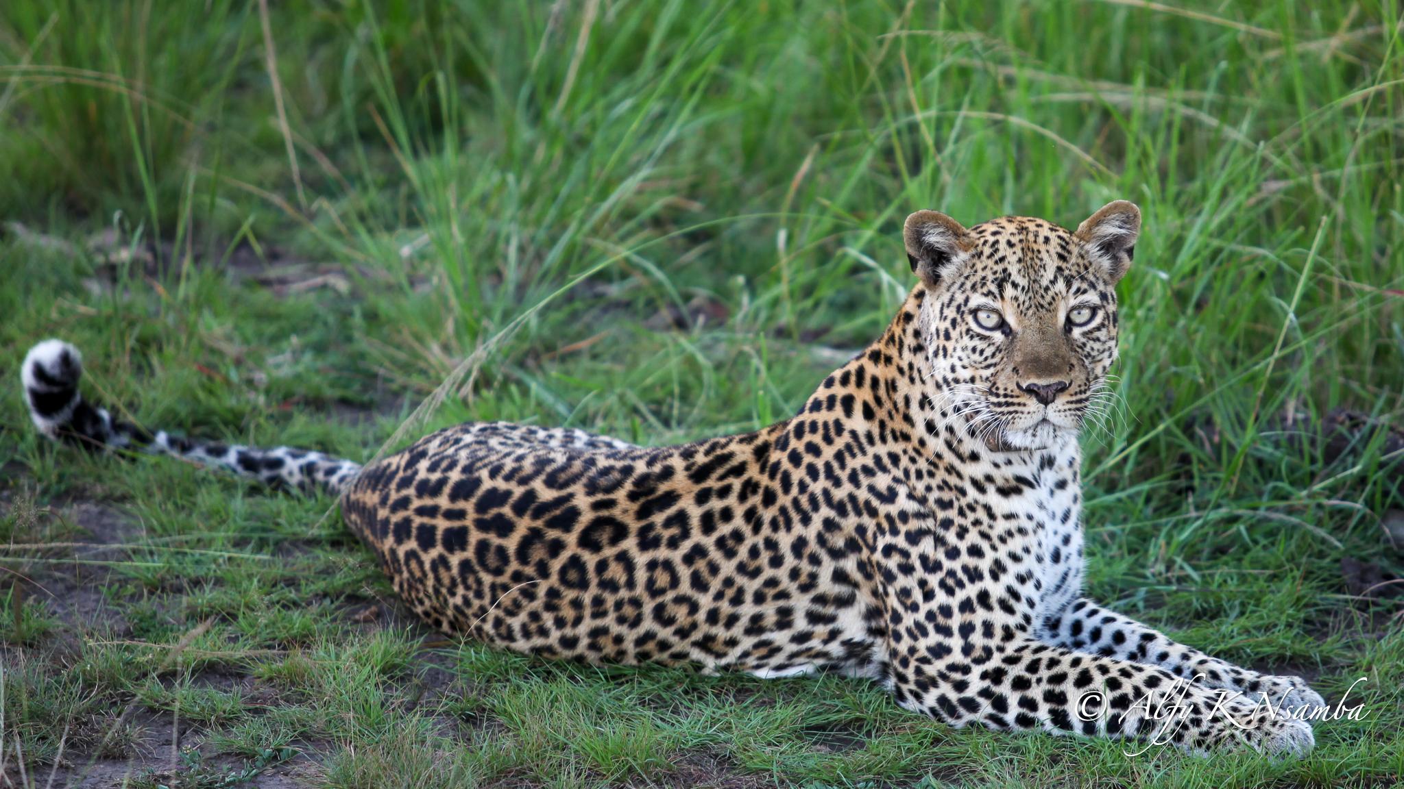 Uganda Leopard Stare