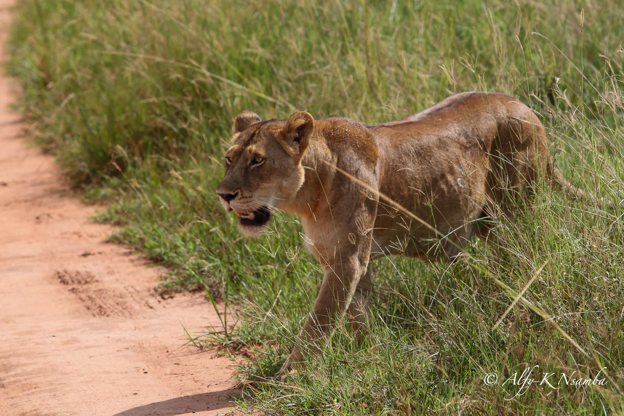 Uganda Lion In Murchison Falls National Park