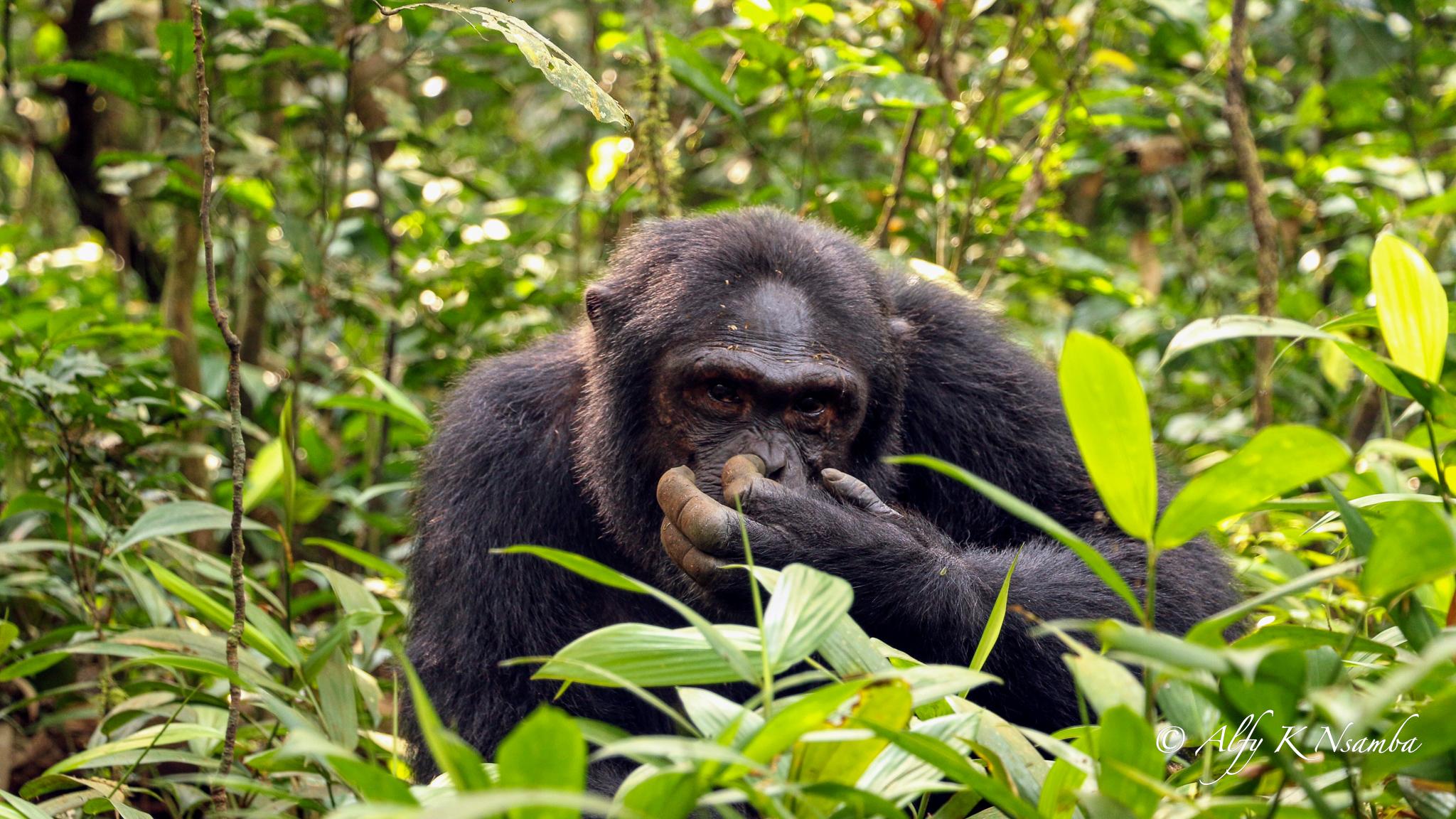 Uganda Presentation Chimpanzee