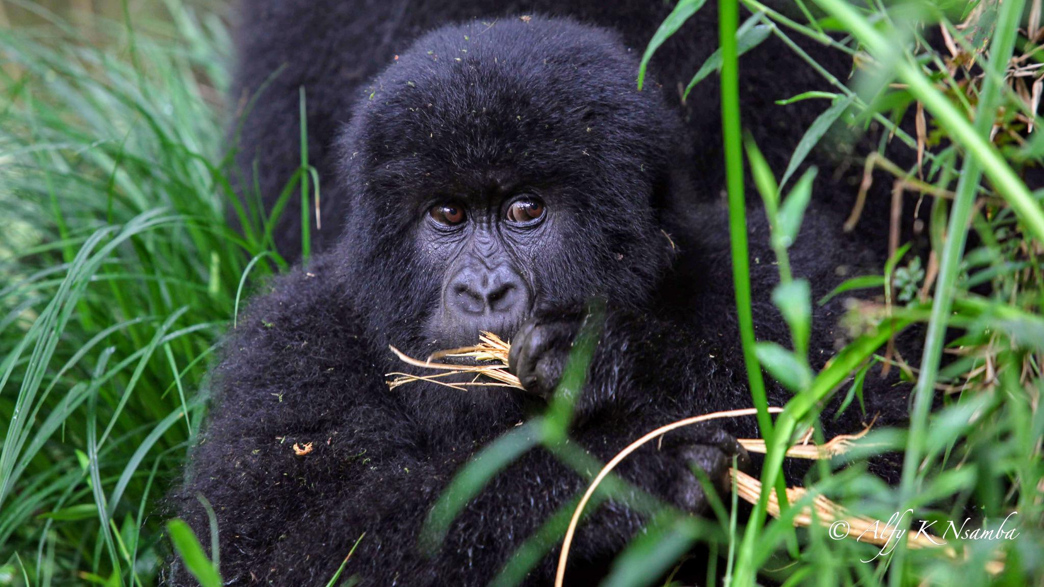 Uganda Presentation Gorilla