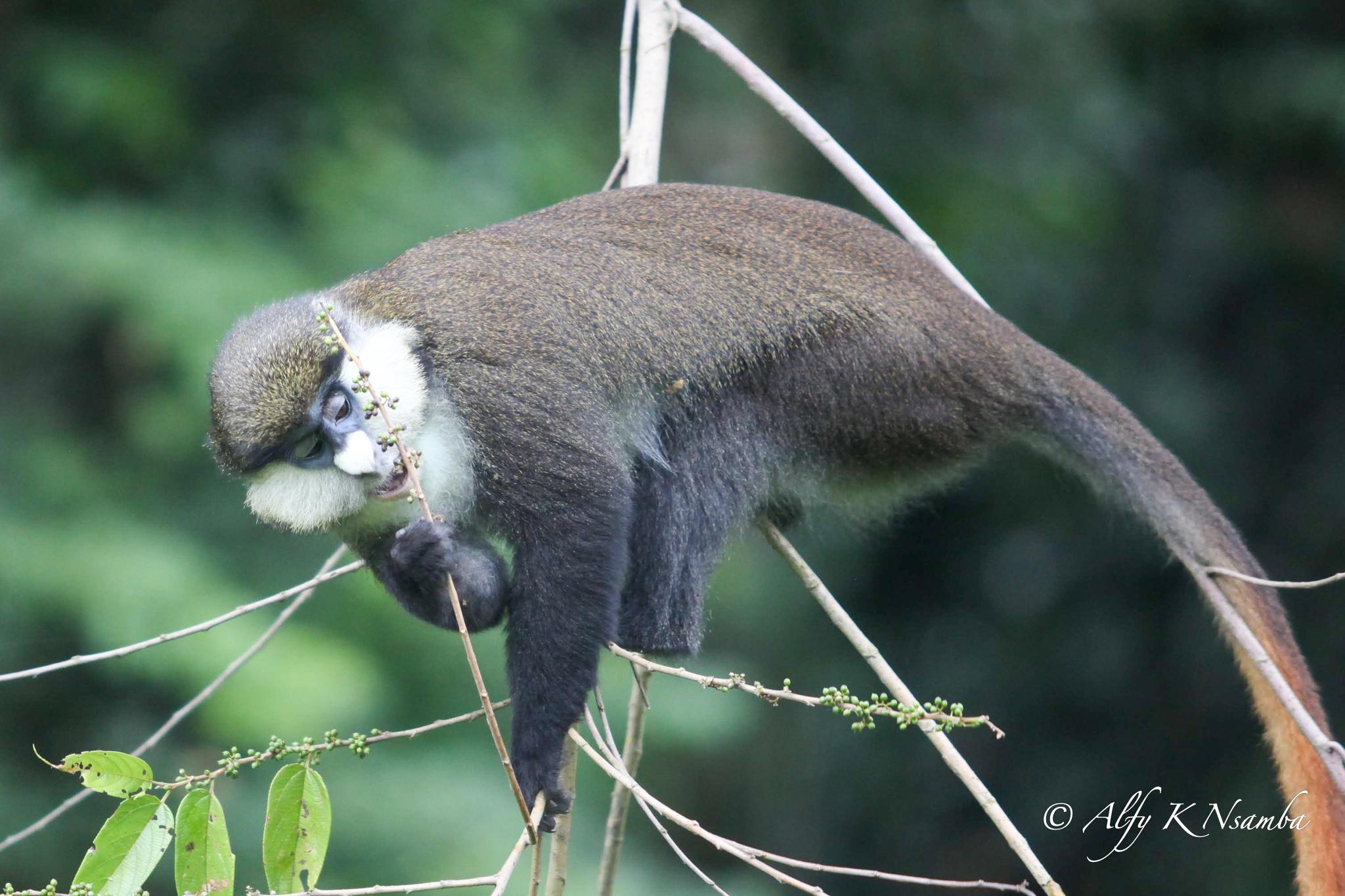 Uganda Red Tailed Monkey Kibale 2