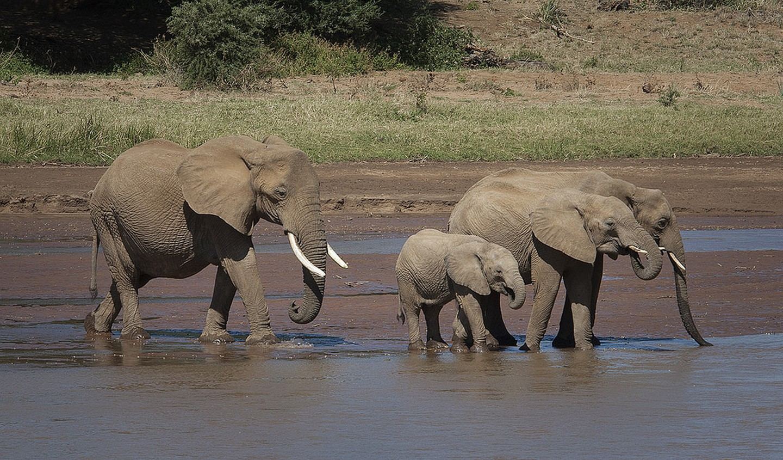 Elephants1