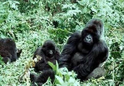 Gorilla Trekking Uganda P1ytu