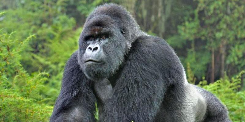 Gorilla Trekking Uganda Hj6c6
