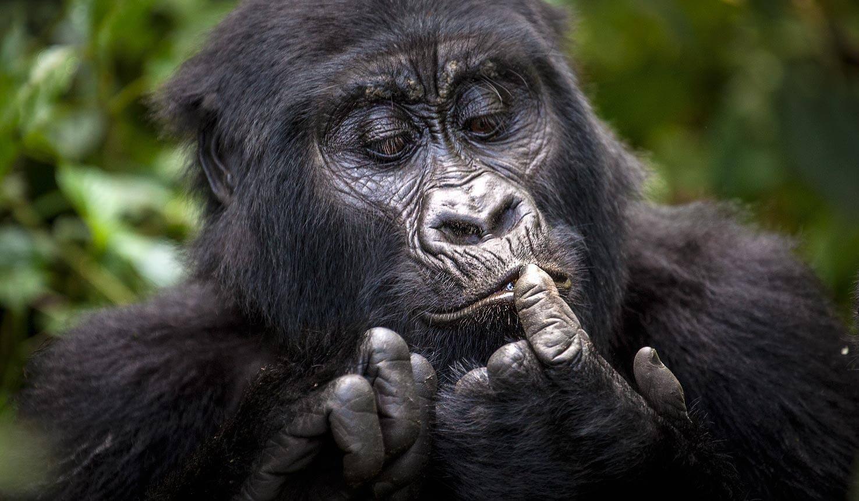 Gorilla Trekking Uganda I1zki