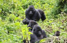 3-Day Uganda Gorilla Trekking Tour