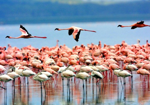 Flamongos At Lake Manyara