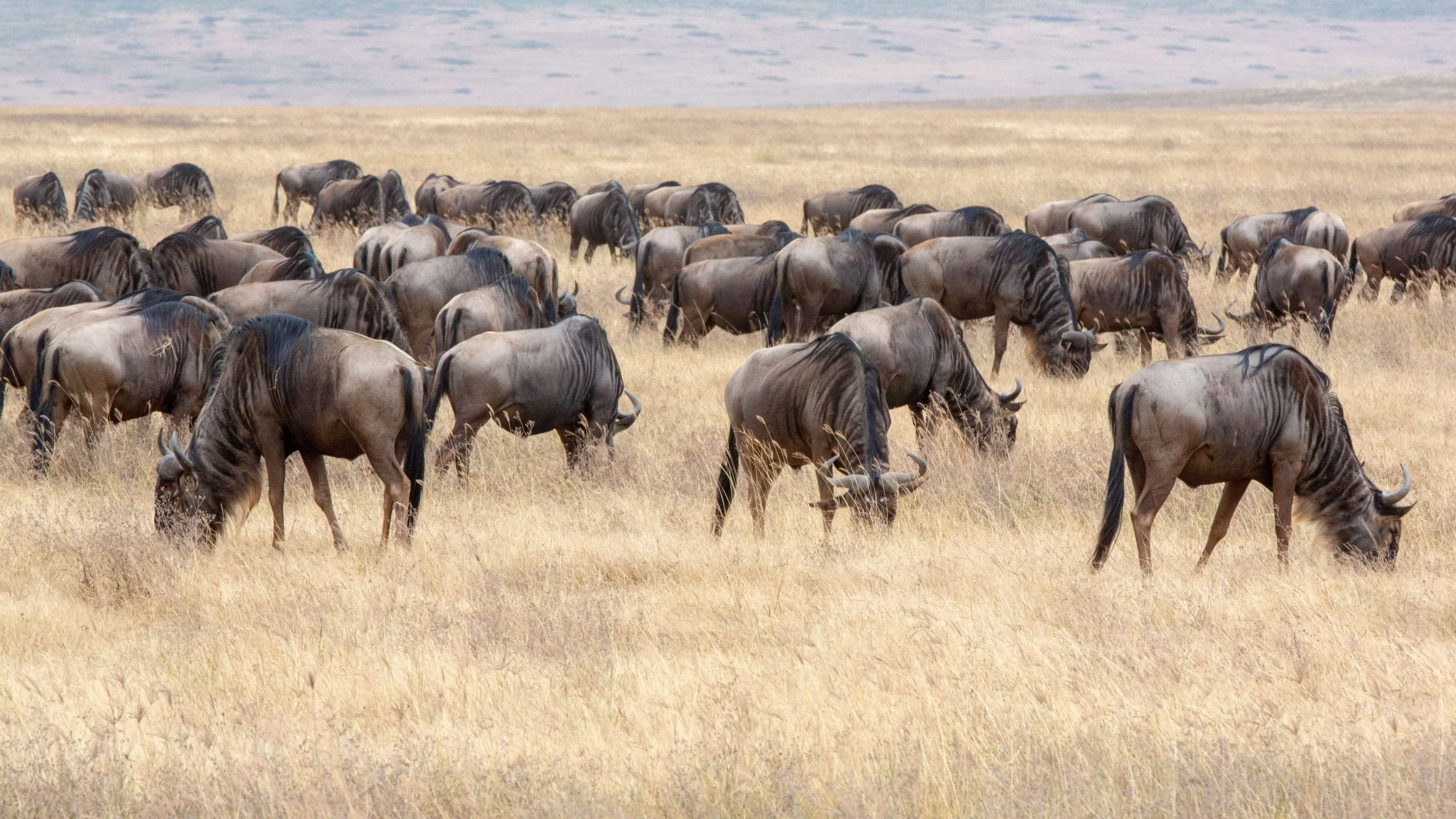 Follow The Wildebeest Great Migration (2)