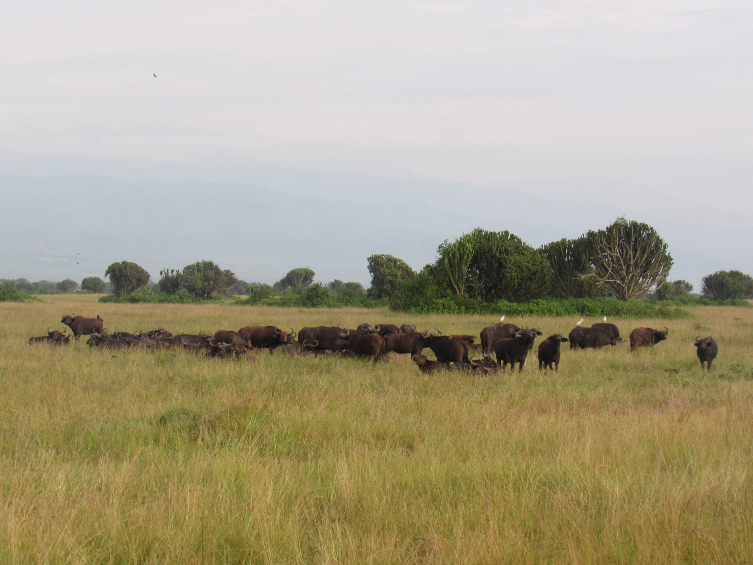 A herd of Buffaloes seen during a game drive