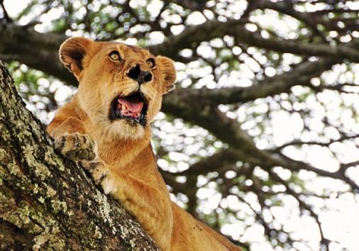 Tree Lions 3