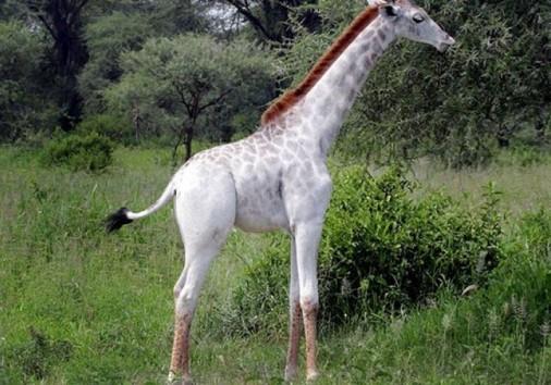 White Giraffe In Tarangari