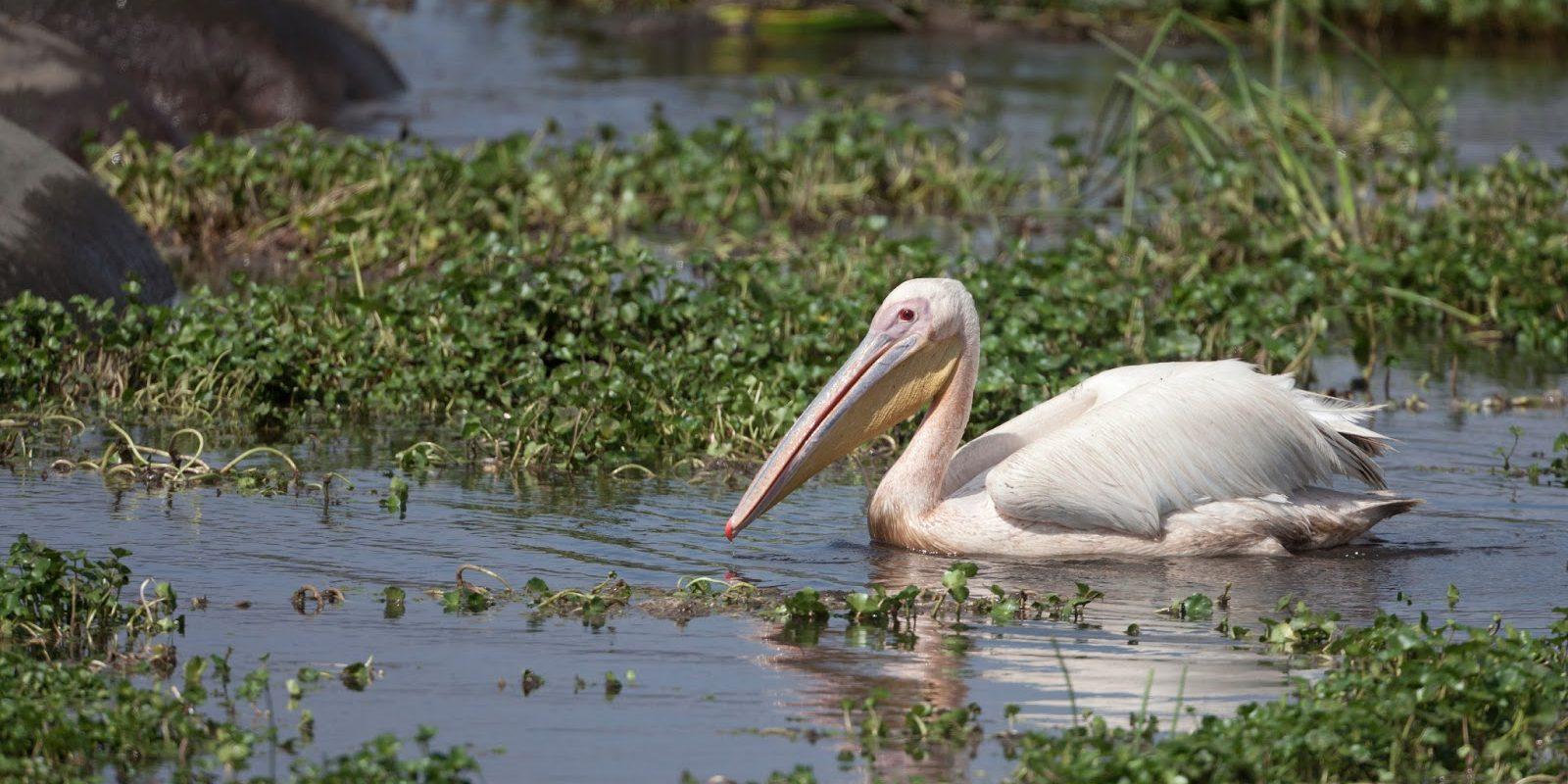 White Pelican Alone