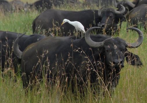 Cattle Egret On A Cape Buffalo