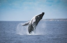 Whales Migration Route