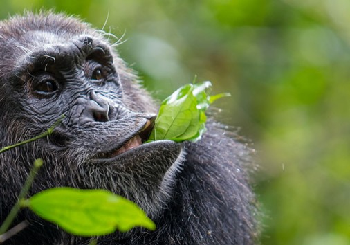 Chimpanzee By Stefan Bouma
