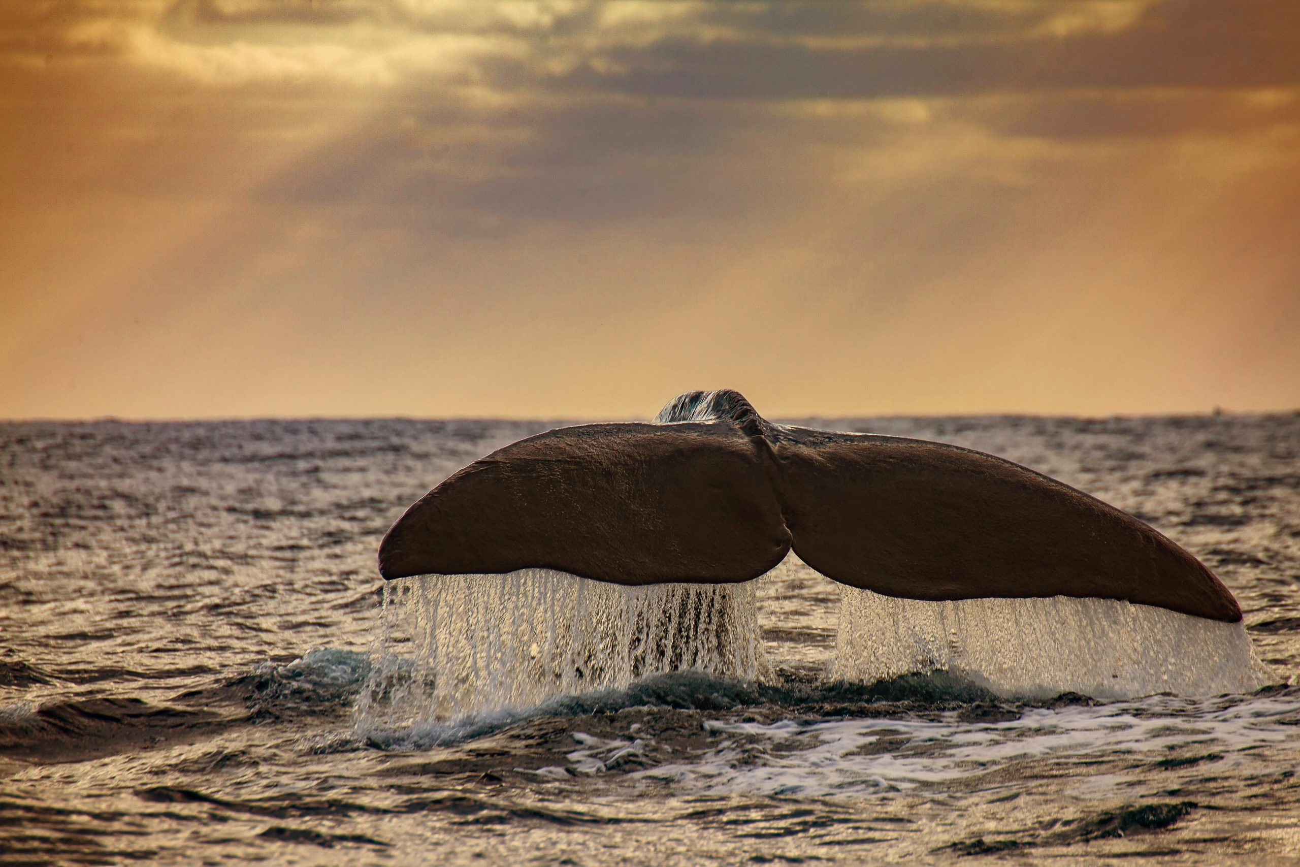 David Sao Miguel Species Sperm Whale Whale Watching Mr Liable Tail Sunset (2)