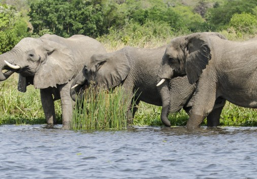 Elephants In Murchison