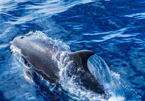 Enrico Pescantini Sao Miguel Whalewatching Bottlenose Dolphins3