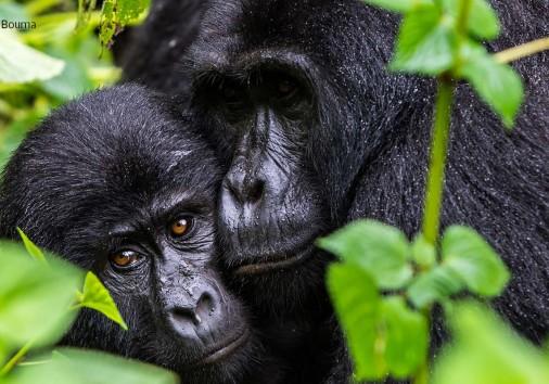 Gorilla B