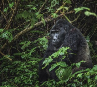 7-Day Uganda Gorilla and Chimpanzee Trekking