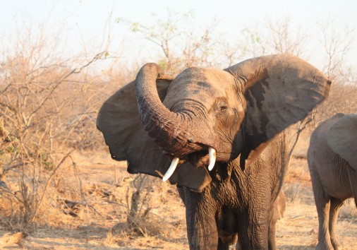 Elephant spotted on a game drive.