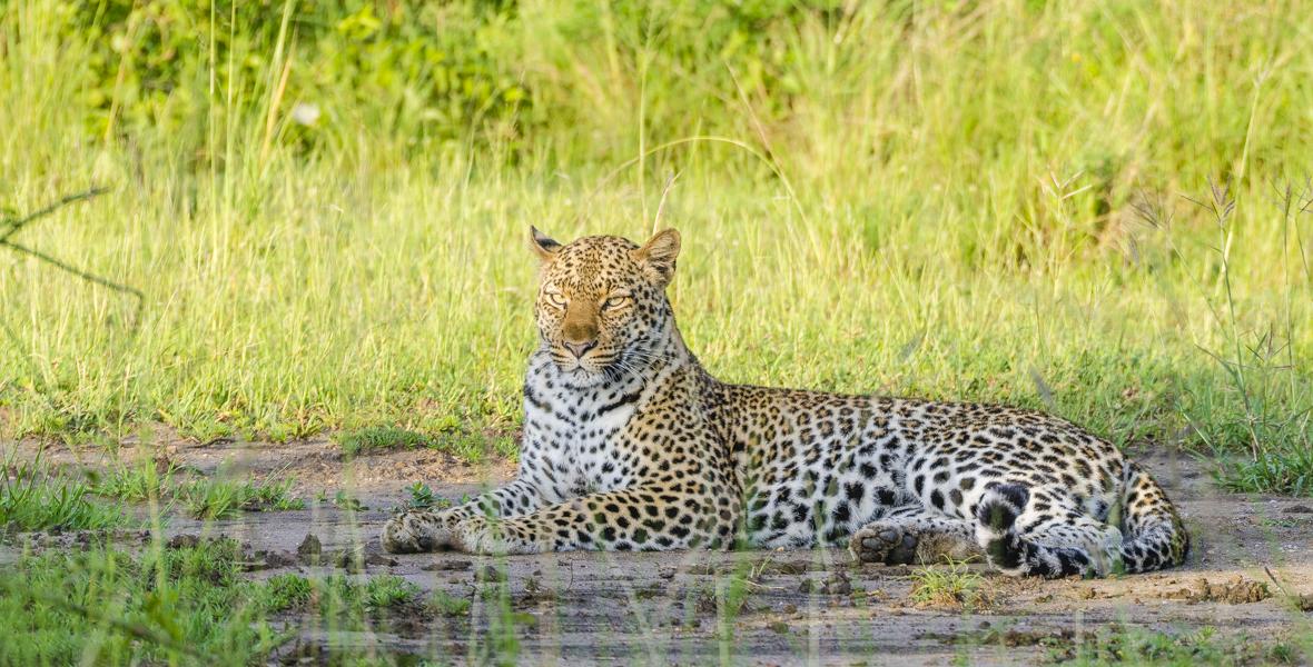 Leopard In Queen