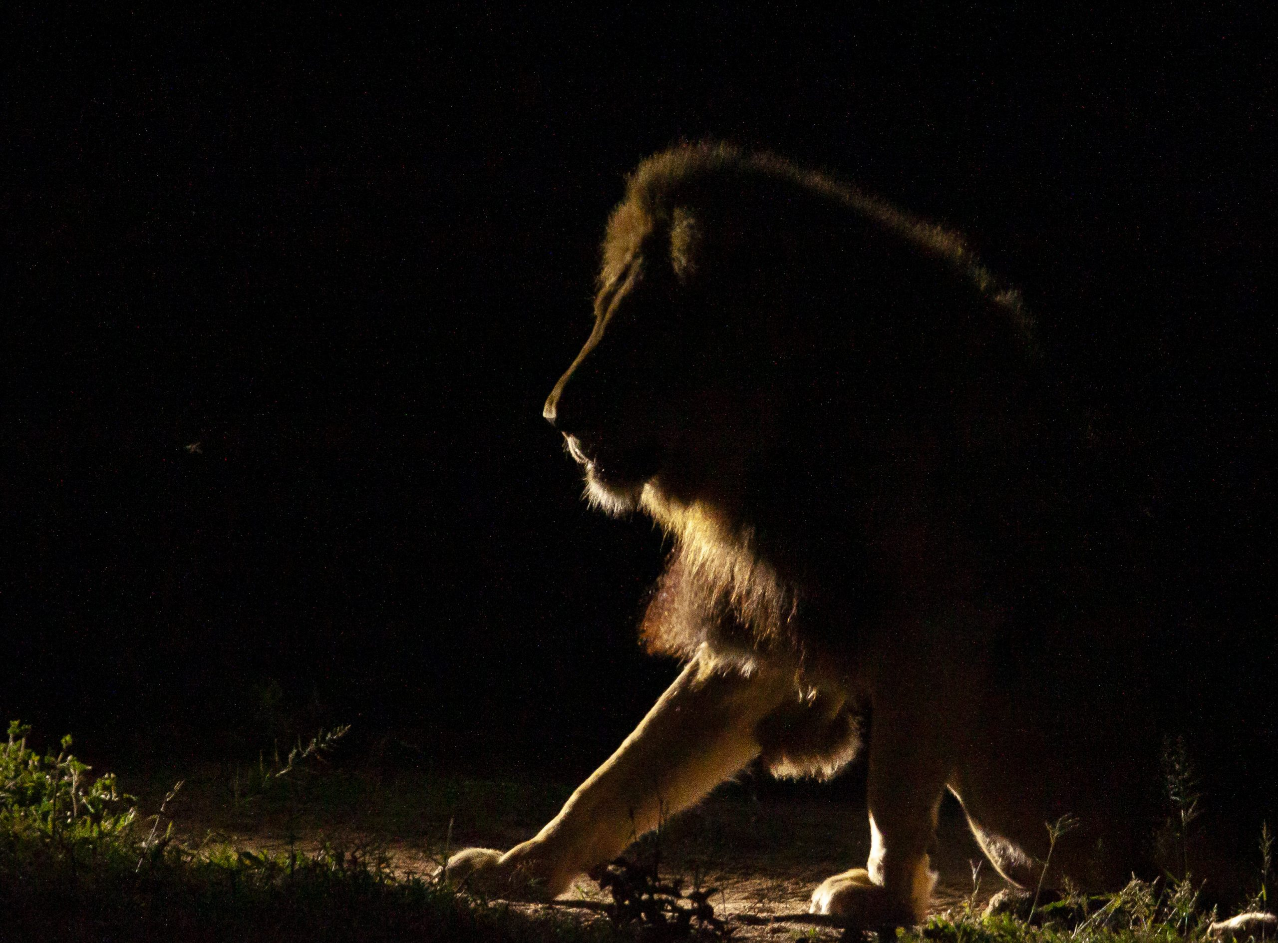Lion At Night In Timbavati