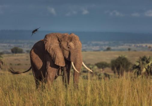 Murchison Falls Elephant