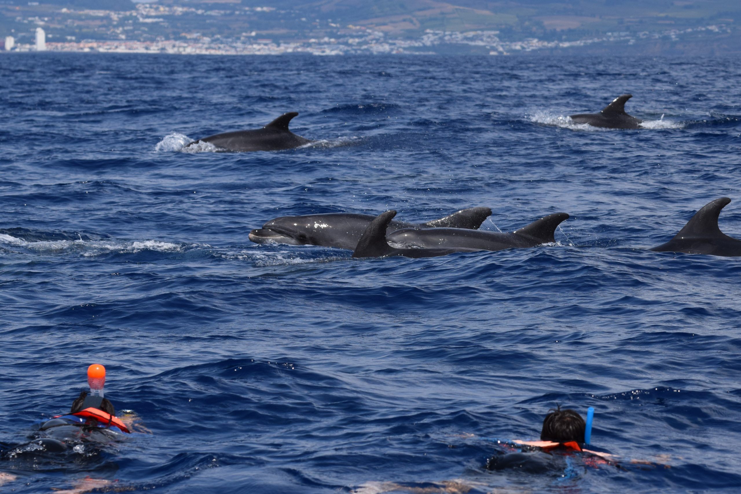 Sao Miguel Species Bottlenose Dolphins Swimming Botllenose