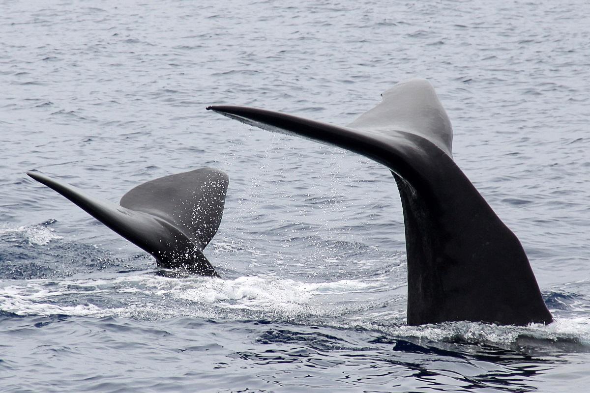 Sperm Whales Caudas