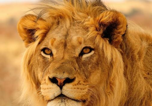 Lionn 1280x1200..