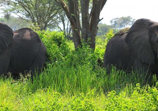 Qenp Elephants