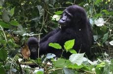 7 Days Uganda Primate Trekking Safari