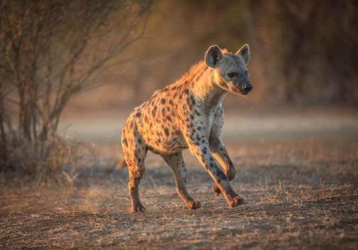Safari Wildlife Facts Hyena Africa Tanzania 2