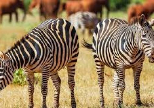 Tsavo East Giraffe