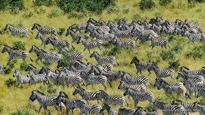 Chobe Milton Zebra1