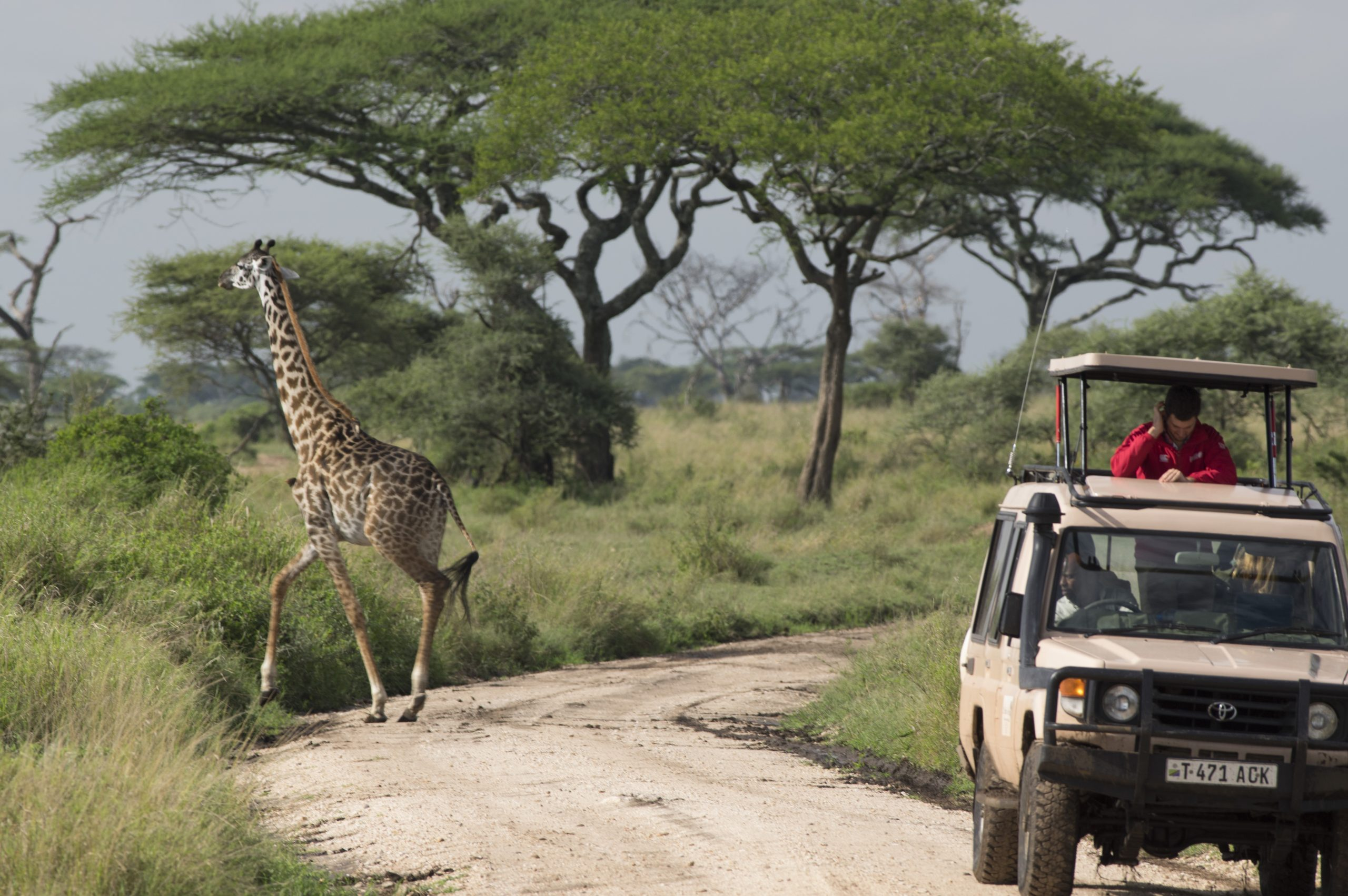 Giraffe And Landcruiser
