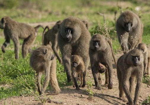 Olive Baboons Troop