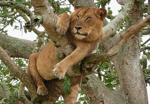 Tree Climbing Lion1