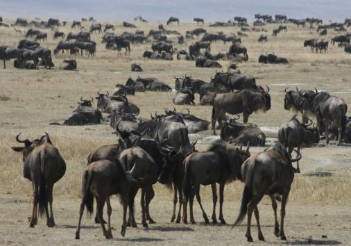 Wildbeest At Ngorongoro Crater