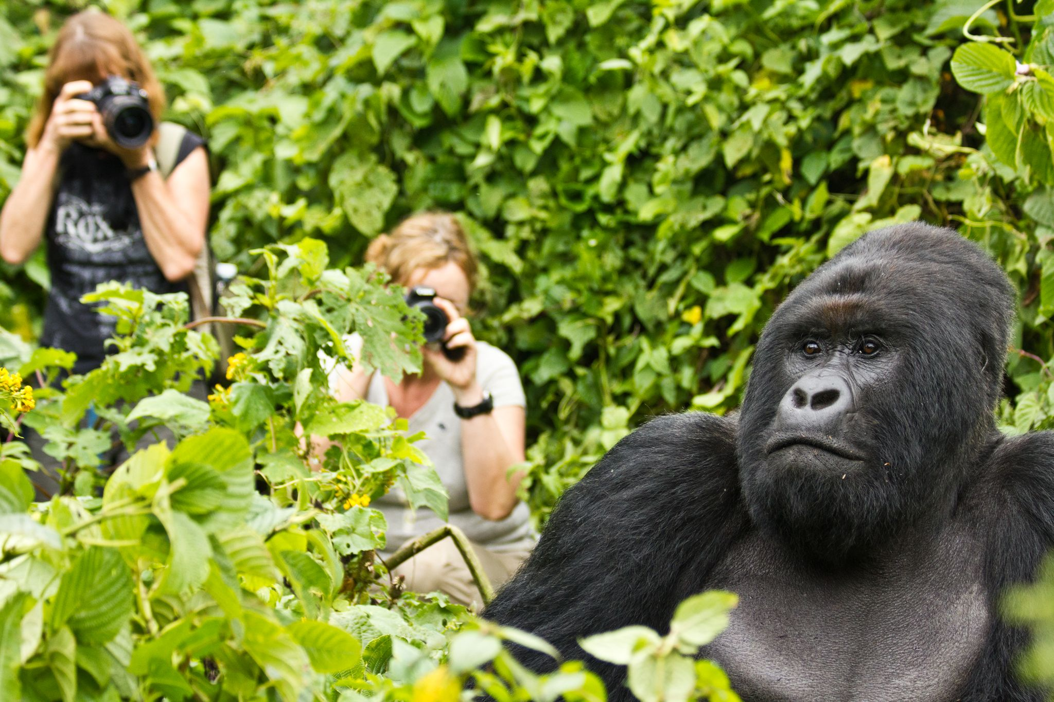 Price Gorilla Trekking Permit Discounted Permits Uganda Bwindi Forest 1