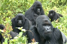 3 Days Ultimate Gorilla Safari