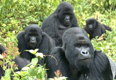 3 Days Ultimate Gorilla Safari