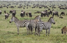 7-Day Serengeti Plains & Ngorongoro Crater Safari