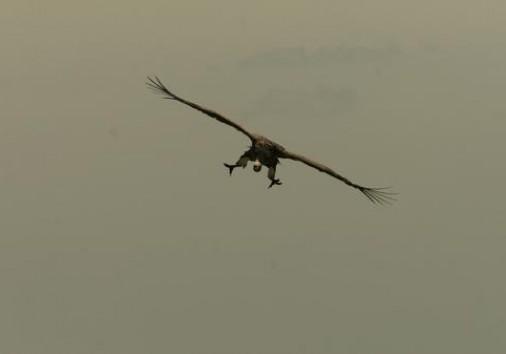 Eagle At Dusk