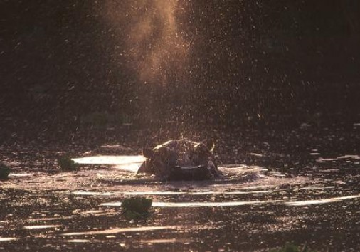 Hippo At Dusk