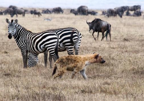 Hyena Zebra Wildebeest Marc Levine