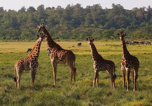 1024px Giraffe Zebra And Buffalo Arusha Np 2015 2015 01 10