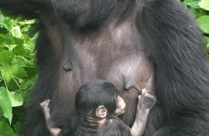 4-Day Gorillas and Chimps Trek