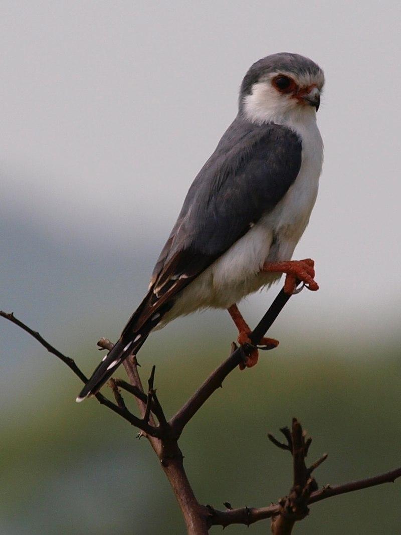 Pygmy Falcon Tarangire National Park
